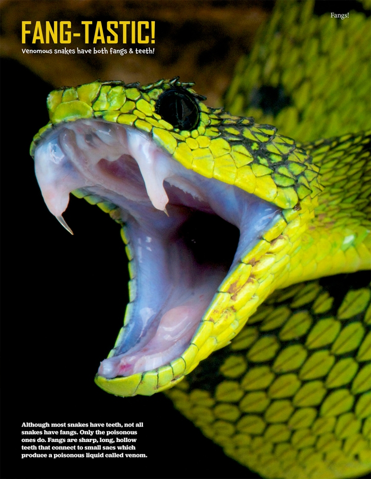 Venomous Snake Poster from Fangs! A Kids Magazine